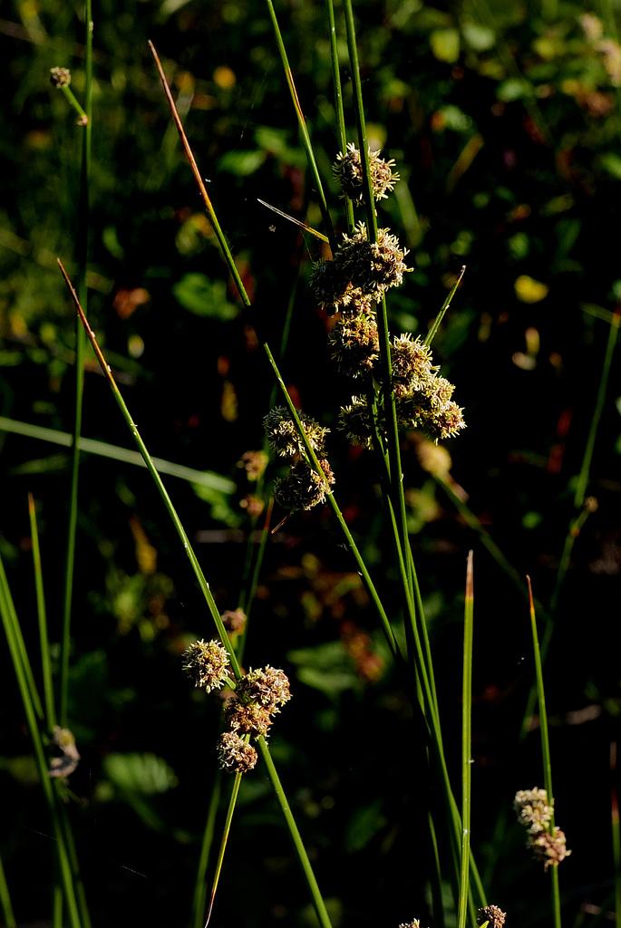 Scirpoides holoschoenus, Poales
