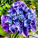 Hortensie heute in blau. ©UdoSm