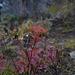 Spiraea japonica, Canada L1010123