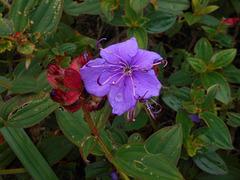 DSCN5272 - quaresmeira Tibouchina urvilleana, Melastomataceae