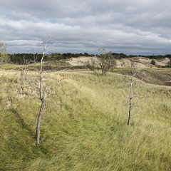 Barren trees amid the windy grasses of a LAKESHORE DUNE.