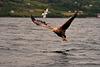 Seeadler beim Fischen