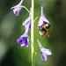 Bee on Tall Larkspur / Delphinium exaltatum