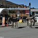 AZ town of oatman local burros 10'16 03