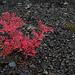 Sorbus aucuparia, Canada L1010121