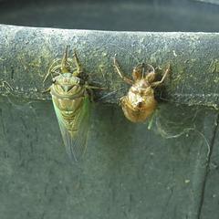 Cicada with exoskeleton