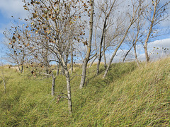 Mid-October grasses & trees of a North American Great Lakes dune.