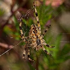 Another Garden Spider