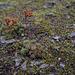 Sedum lanceolatum, Canada L1010127