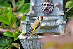 Goldfinch   /   May 2020
