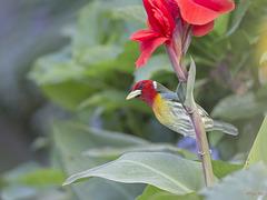 GBAS1009 Cabézon à tête rouge (Red head barbet) mâle