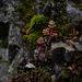 Sedum album, Canada L1010129