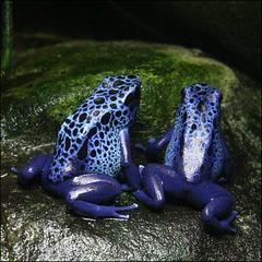 Dendrobatidae.