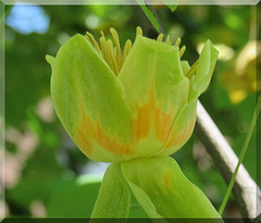 Tuliparbo