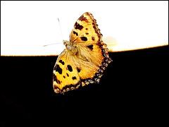 Mon papillon de Noël