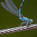 Damsel on a Wire