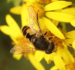 IMG 6330hoverfly