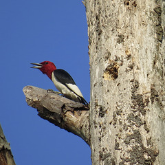 Happy red-headed woodpecker