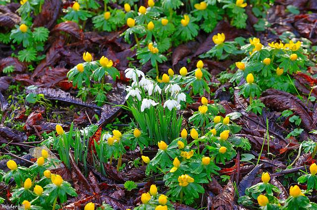 Yellow And White   /   Feb 2018 (Winter Anconite-Snowdrop)