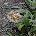 Plantago lanceolata?, Canada L1010153