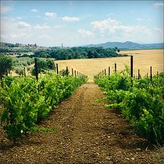 The new vineyard is growing.