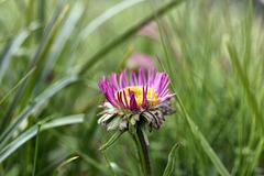 Bergaster, Blüte noch nicht ganz entfaltet