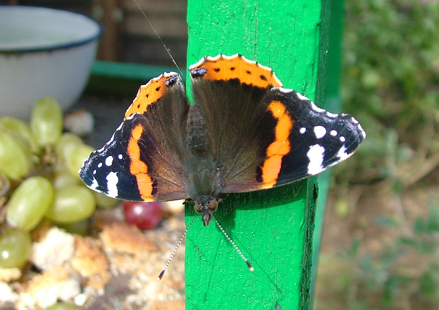 Red Admiral Butterfly (Vanessa atalanta) Staxton North Yorkshire 20th September 2005