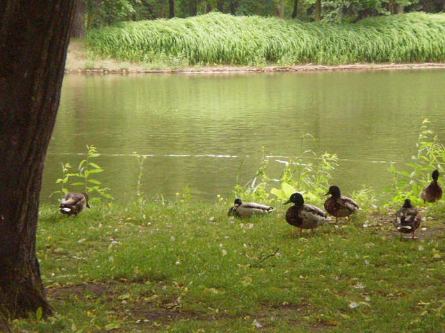Ducks by the pond.
