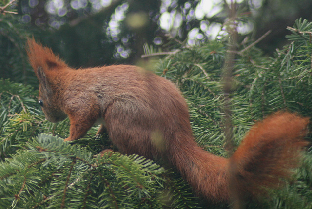 Red Tree Squirrel Male another intruder M25-01