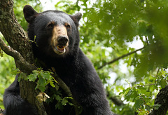 Ours couché dans les branches ( c'est la premiere fois que je photographie un ours... au dessus de moi )
