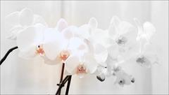 Douceur des orchidées