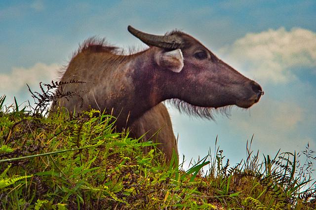 Buffalo looks over the edge