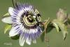 IMG 1648a. Passiflora caerulea (blog)