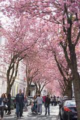 Kirschblüte/ Cherry Blossom