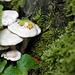 Pleurocybella porrigens, Canada L1010112