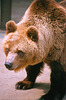 Brown bear -Swartberg zoo