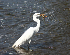 10/50 grande aigrette-great egret