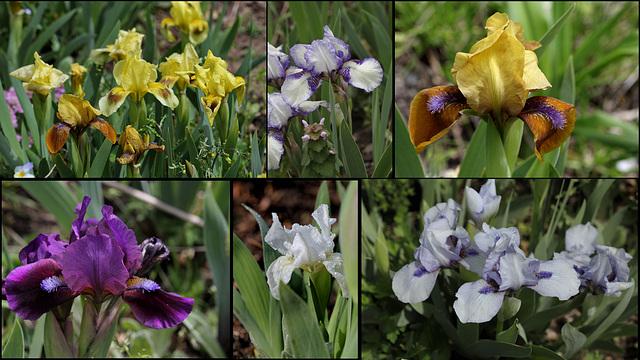 Iris nains de mai