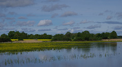 champ de rorippe amphibie (cresson jaune) dans l'étang Quinson