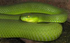 029 Grüner Baumphython (Morela viridis)