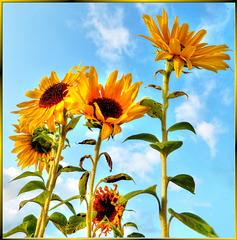 Sunflowers... ©UdoSm