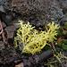 Hylocomium splendens, Canada L1010134