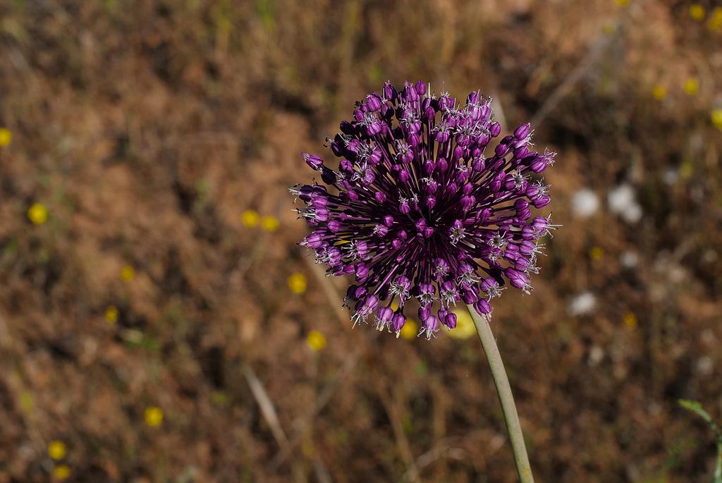 Allium ampeloprasum, Amaryllidaceae