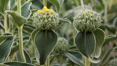 Phlomis  frutescens en duo