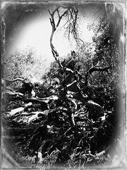 Danza de raíces 3