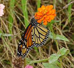 Monarch (Danaus plexippus)(f) ~ Maybe the last ... ?