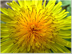Dandelion - seen otherwise
