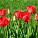Mes tulipes …..