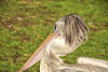 Pelican with style