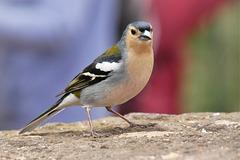 57 / 365 - Madeira-Buchfink (fringilla coelebs maderensis)